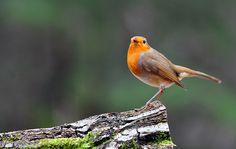 Vroege Vogels: Roodborst in...