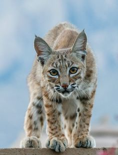 A bobcat perched on a concrete block wall in Oro Valley, Arizona. Bobcats are Arizona's most common type of wild cat (found at all elevations and in many landscapes) and the only species other than mountain lions (which are much larger) that reside permanently in the Sonoran Desert. Photo by Devin Russel.