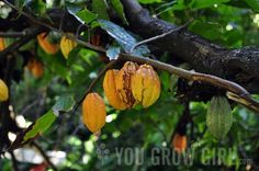 How to Grow Cacao Tree