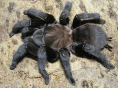 Aphonopelma anax, the Texas Brown Tarantula. Another tarantula from the United States.