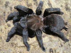 Aphonopelma anax, the Texas Brown Tarantula. Another tarantula from the United States.