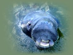 Manatees on Sanibel are somewhat friendly. Had one come right up to the beach by us. Even I had to take a step back. No #fear.