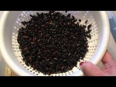 Mealworm beetles cleaning - YouTube