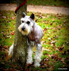 Standard Schnauzer Standard Schnauzer, Mini Schnauzer, Miniature Schnauzer, All Dogs, Best Dogs, Dogs And Puppies, Buy My House, Dog Pin, Schnauzers
