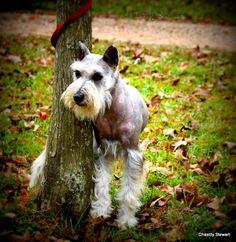 Standard Schnauzer Standard Schnauzer, Mini Schnauzer, Mans Best Friend, Best Friends, Buy My House, Dog Pin, Schnauzers, Four Legged, Best Dogs