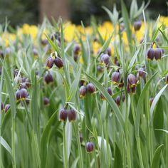 Fritillaria Michailovskyi - Longfield Gardens
