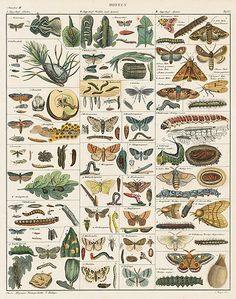 Moths. Oken Natural History Butterfly & Insect Prints