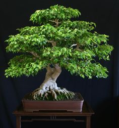 Bonsai ficus - espectacular bonsai de ficus benjamina