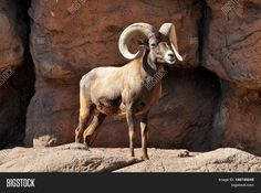 Bighorn ram sheep wildlife photo is available for personal or business use at https://www.bigstockphoto.com/image-189749245/stock-photo-bighorn-sheep-ram-with-large-horns-in-the-rocky-mountains