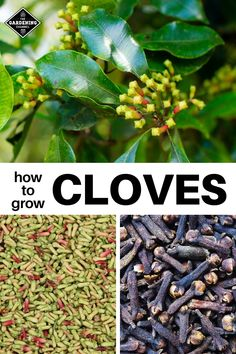 Learn how to grow your own clove trees with these gardening tips. Don't miss this advice on harvesting clove buds. Learn how to grow your own clove trees with these gardening tips. Don't miss this advice on harvesting clove buds. Growing Herbs, Growing Vegetables, Clove Plant, Home Vegetable Garden, Garden Quotes, Organic Gardening Tips, Organic Farming, Garden Pests, Organic Vegetables