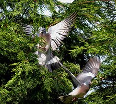 DSC_0056 (gillkenn) Tags: wood pigeons flight