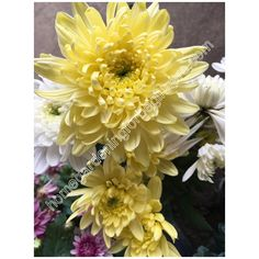 Chrysanthemum yellow photo - Home Gardening for Beginners Yellow Chrysanthemum, Chrysanthemums, Gardening For Beginners, Different Colors, Floral Wreath, Home And Garden, Wall Decor, Wallpapers, Wreaths
