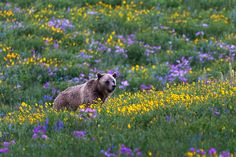 Photograph grizzly in the wildflowers by RobsWildlife.com  - Rob Daugherty on 500px