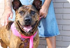 Pictures of Ariel a Pit Bull Terrier Mix for adoption in Bronx, NY who needs a loving home.