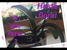 Orquidea Phalaenopsis: o que fazer com a haste floral - YouTube