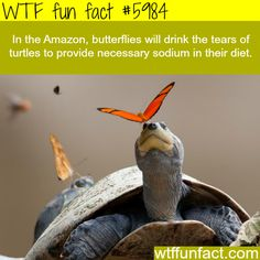 Butterflies drink the tears of turtles - WTF fun facts