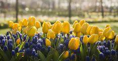 Ce facem cu bulbii de lalele, zambile, narcise după ofilirea florilor? | Sweet Garden Plant
