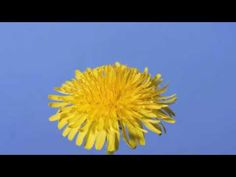 Time lapse dandelion flower video from dandelion flower to seed head aka dandelion puff