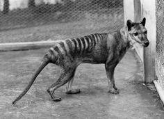 Photo copy of the last thylacine, marsupial extinct for 78 years.