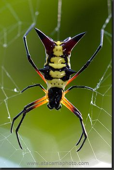Spider from the Micrathena family, Madidi National Park, Bolivia