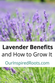Herbal Remedies Lavender benefits are huge! It can be used for so many herbal remedies. The best way to have lavender is to grow it yourself (and I'll show you how). Herbal Remedies, Health Remedies, Home Remedies, Natural Medicine, Herbal Medicine, Organic Gardening, Gardening Tips, Gardening Books, Flower Gardening