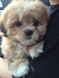 This is my Shipoo puppy at 8 weeks old.