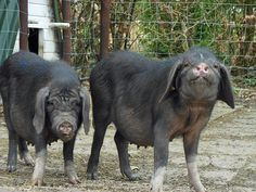 Meishan Pig  Origin: China. Meishan Prefecture. Type: Meat. Flavor: Succulent, flavorful, with lots of fat. Size: Small to Medium (adults average 130 lbs/60 kg). Color: Black with wrinkles. Temperament: Good-natured. Notes: Very prolific. Slow growing. Resistant to many diseases.