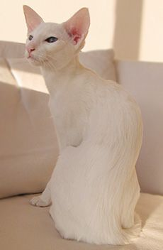 (disambiguation) An albino is an organism with the disorder albinism — the congenital lack of normal pigmentation. Albino may also refer to: White Kittens, Cats And Kittens, Beautiful Cats, Animals Beautiful, Oriental Cat, Leopard Cat, Matou, Rare Animals, Domestic Cat