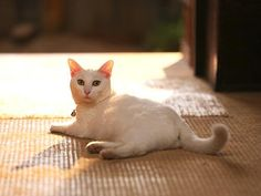 Twitter / nekozamuraiinfo: 玉之丞さま?シッポでお返事でございますか。 #猫侍 #白猫