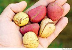 To Pilgrims: Don't Bring Kola Nut During Hajj | About Islam