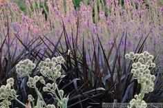 Eryngium yuccifolium, Pennisetum 'Princess Caroline', Lythrum 'Morden's Gleam'  plant combinations, gardening, landscaping