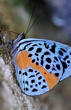Eunica Chlororhoa Butterfly