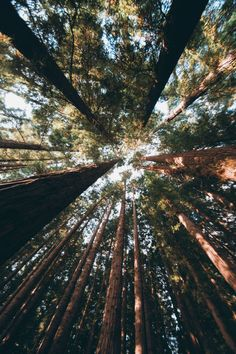 hullocolin:  East Warburton Redwood Forest, Australia Tumblr | Instagram | Website | Shop