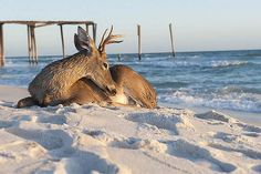 Deer on Inlet Beach, FL Panhandle. This photo, taken by Craig Carper, was posted on Facebook via a Panama City, FL news station. Inlet Beach is between Destin and Panama City Beach.     We've got deer all over the place around here but I never considered that they probably also visit the beach. Cool!