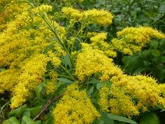 Golden Rod*September and October. This yellow plant can be found in moist locations, forests, fields, roadsides, compost piles, cultivated fields, and orchards throughout Canada, the U.S., and across the world.