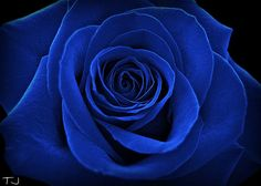 Ideas For Wallpaper Flores Escuras Dark Flowers, Beautiful Rose Flowers, Exotic Flowers, Blue Roses Wallpaper, Wallpaper Iphone Love, Aesthetic Roses, Blue Aesthetic, Rose Pictures, Pretty Pictures
