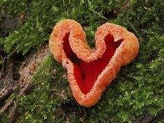 Sarcoscypha coccinea, commonly known as the scarlet elf cup, scarlet elf cap, or the scarlet cup, is a species of fungus.  *hearts*