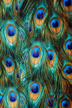 Close up of a male peacock displaying its stunning tail feathers - stock photo Peacock Painting, Peacock Art, Peacock Feathers, Colorful Feathers, Peacock Images, Peacock Pictures, Feather Texture, Feather Art, Male Peacock
