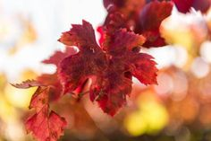 How to Plan a Splendid Getaway to Napa Valley: Napa Valley in the Fall