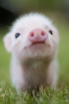 It is believed that a pig has the intelligence of a 3 year old child.  Just think of the terror a pig feels as it stands in line at the slauter house.....knowing something is very wrong, but not understanding exactly what the screams mean.  If you can stand an education watch Food, Inc on Youtube.  It will change your life.