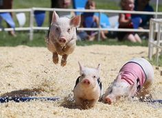 Alameda County Fair Features Attractions, Animals, And Fried Food