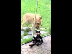Lion Wants to Eat Baby - probably not a good idea to take your kid to zoo dressed as a Zebra.