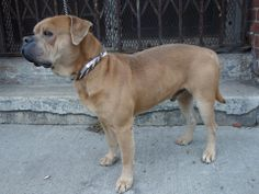 Lovables: URGENT - Brooklyn Center   JO - A0989625   MALE, BROWN / WHITE, BULLDOG MIX, 5 yrs    STRAY - STRAY WAIT, NO HOLD Reason STRAY    Intake condition NONE Intake Date 01/15/2014, From NY 11413, DueOut Date 01/18/2014 Main Thread:  https://www.facebook.com/photo.php?fbid=742888859057329&set=a.742888805724001.1073742867.152876678058553&type=3&theater