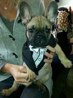Like a Sir, French Bulldog Puppy in a Tuxedo Tee Shirt.