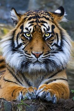 "heaven-ly-mind: "" Sumatran Tiger """