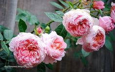 Colette rose- climbing, light pink, and zone 5 hardy- just what I'm looking for!