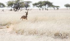 Duikertjie. Wildlife photo taken at Dronfield Nature Reserve outside Kimberley. #duiker #wildlife #nature #photography #gertjgagiano