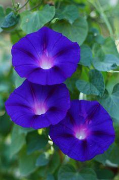 meteor garden as vines Flowers Nature, Exotic Flowers, Amazing Flowers, Pretty Flowers, Purple Flowers, Flower Images, Flower Photos, Morning Glory Flowers, Blossom Garden