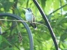 Hummingbird migration 2012