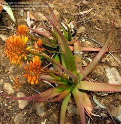 Aloe alfredii Flowering Succulents, Aloe Vera, African, Plants, Plant, Planets